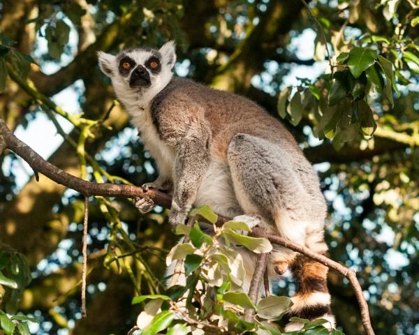 Ring Tailed Lemur by JFitz