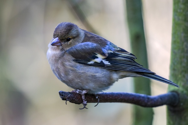 Mrs Chaffinch too by SteveMoulding