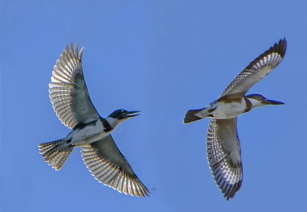 Kingfishers by jbsaladino