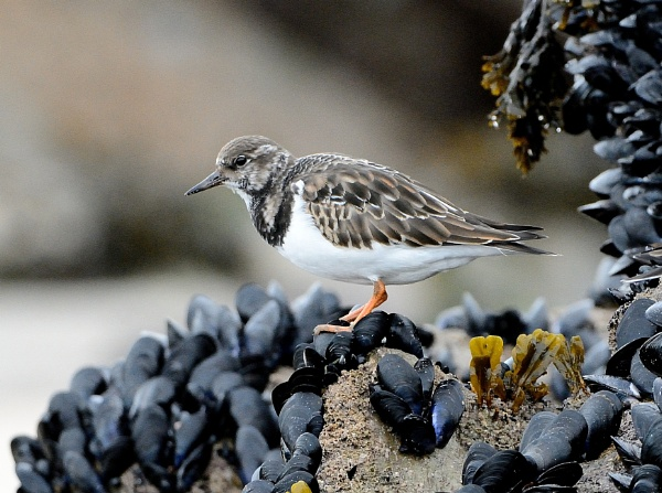 Turnstone by tonyng