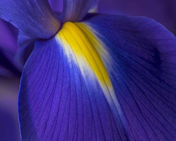 Iris by iancrowson