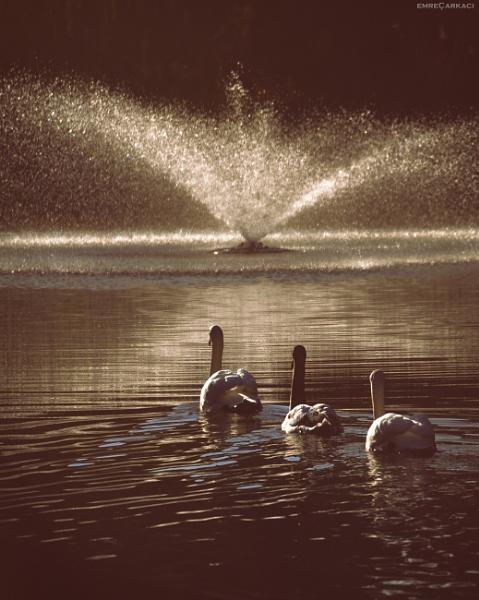 Swans... by carkaci
