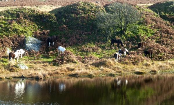 Bodmin Moor ponies by JuBarney
