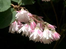 pompom flower!