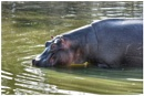 Hippo by ColleenA