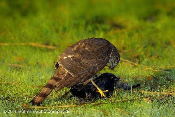 Sharp-shinned Hawk by drbird