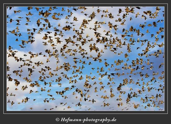 Blackbirds - Icterides by drbird