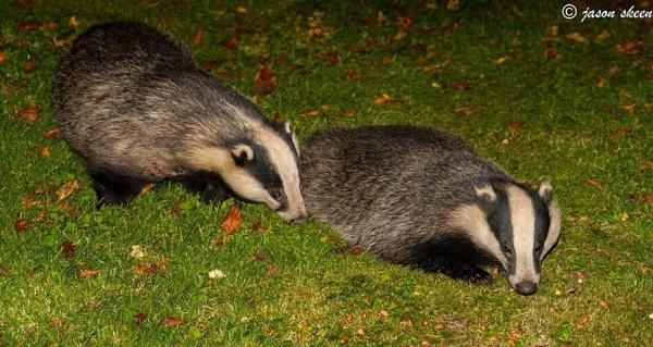 Badgers by skeeno72