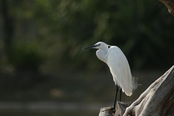 Egret by Yoga