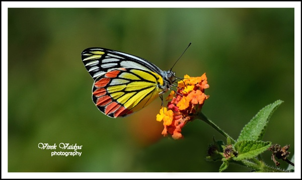 Butterfly 1 by vivekvaidya