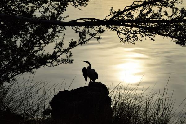 Cormorant by geoffgt