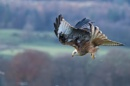 Red Kite by kfjmiller at 20/11/2016 - 5:23 PM
