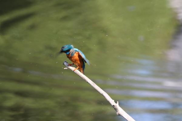 Kingfisher spray by Fatronnie