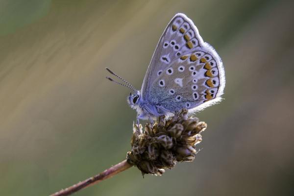 Polyommatus icarus by treasuredphotography