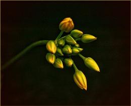 Allium 2011