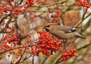 Waxwings by MalcolmM