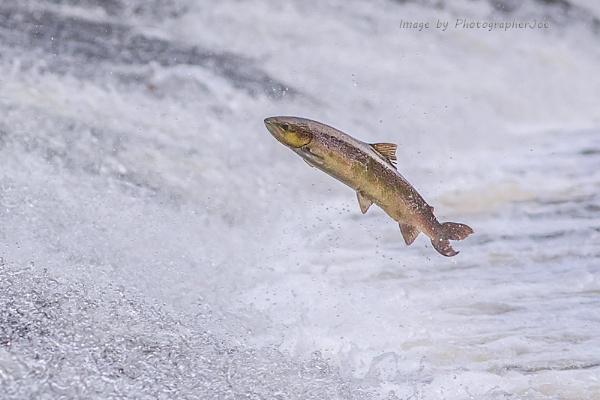 Salmon Leap by photographerjoe