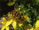 happy hoverfly and others by CarolG