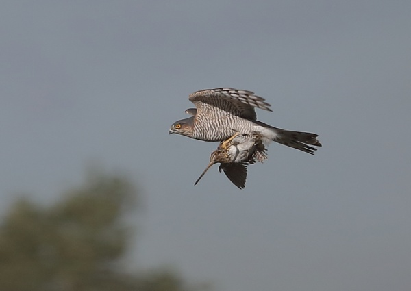 Sparrow Hawk and Snipe by NeilSchofield