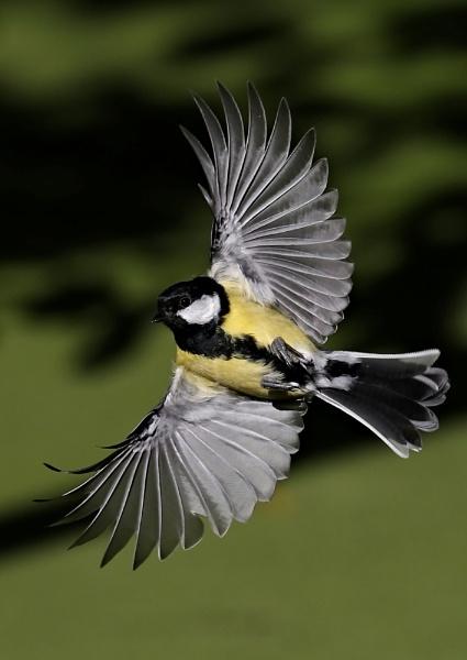 Great Tits in Flight by NeilSchofield