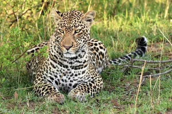 Leopard by vandalp