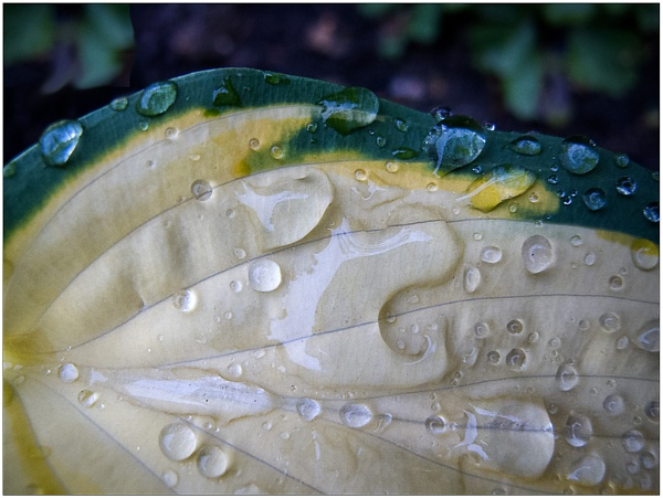 Wet Hosta by SlowSong