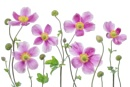 Japanese Anemones by MandyD