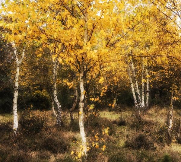 Birches by dawnstorr