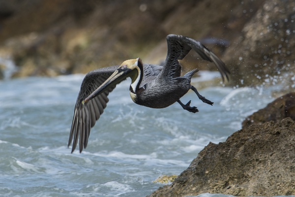 Flying Brown Pelican by richmowil