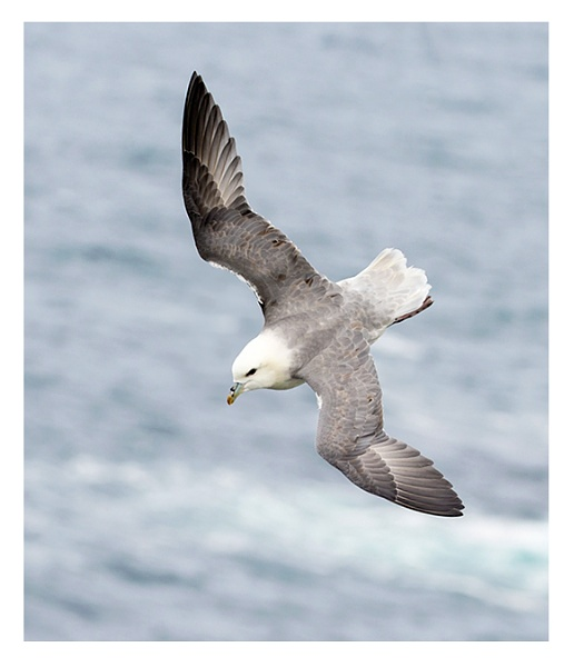 Fulmar by ROB1972