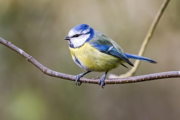 Blue Tit #2 by SteveMoulding