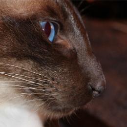Siamese Cat Close Up