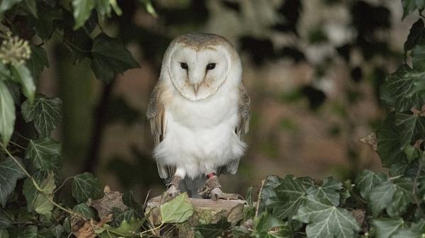 Barn Owl by Gavin_Duxbury