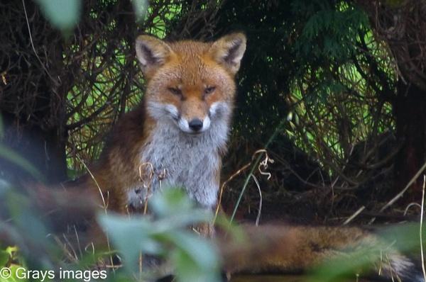 The Fox Cub by p147180r