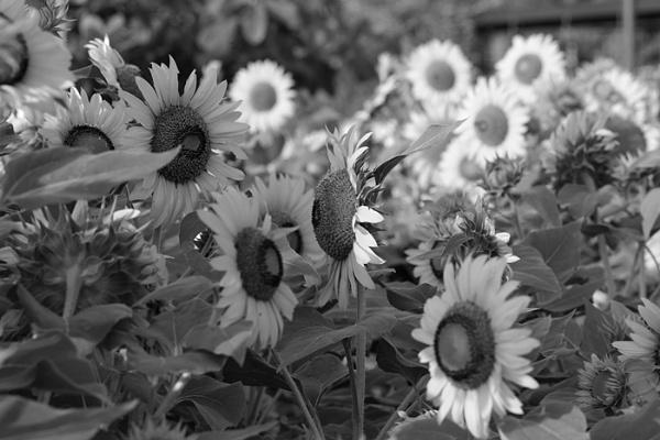 Sunflower by widjaba