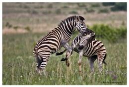 Zebras jousting
