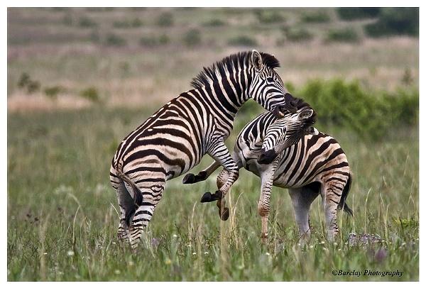 Zebras jousting by fatfranksfolley
