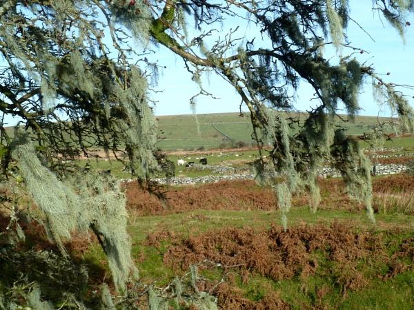 Bodmin Moor lichen by JuBarney