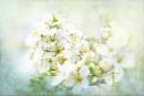 Spring Pear Blossom by jackyp
