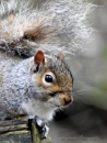 Squirrel by kathrynlouise
