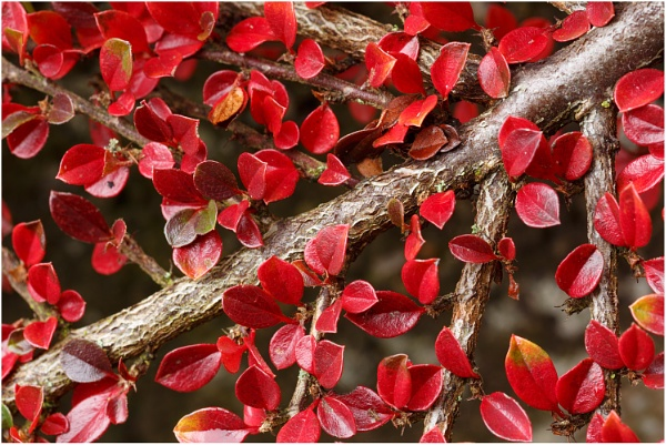 Cotoneaster by dark_lord
