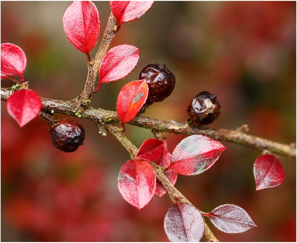 Cotoneaster 2 by dark_lord