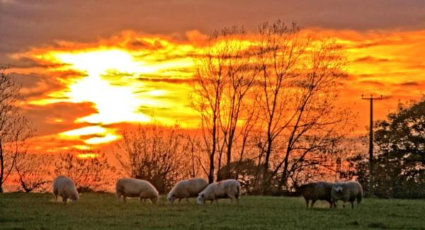 sheepish sunset by pks