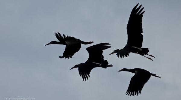 Black Storks Silhouette by brian17302