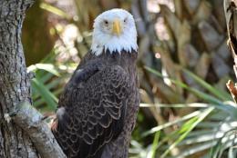 eagle chilling
