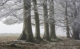 Foggy Pheasant...