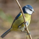 Blue Tit by McBrian