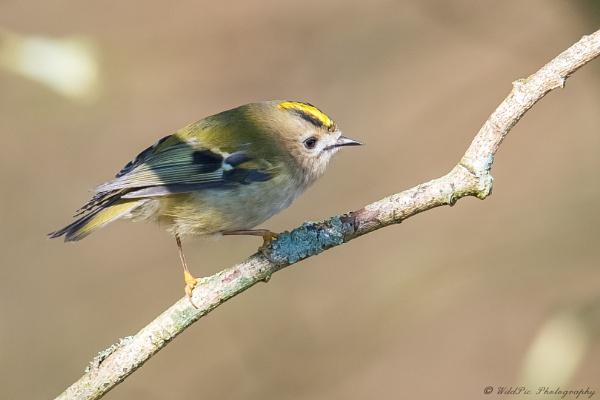 Goldcrest aka -cute wee bird by Wild_Pic