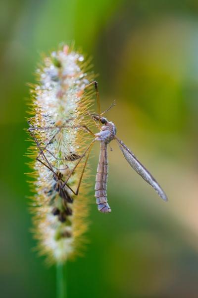 Mosquito by Nino812