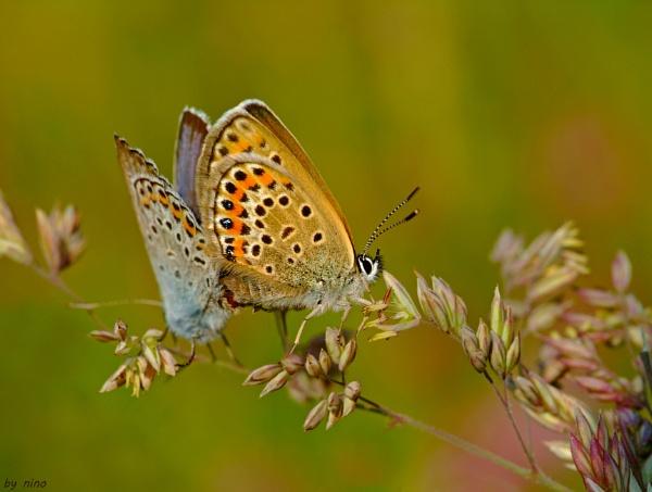 Butterfly dance by Nino812